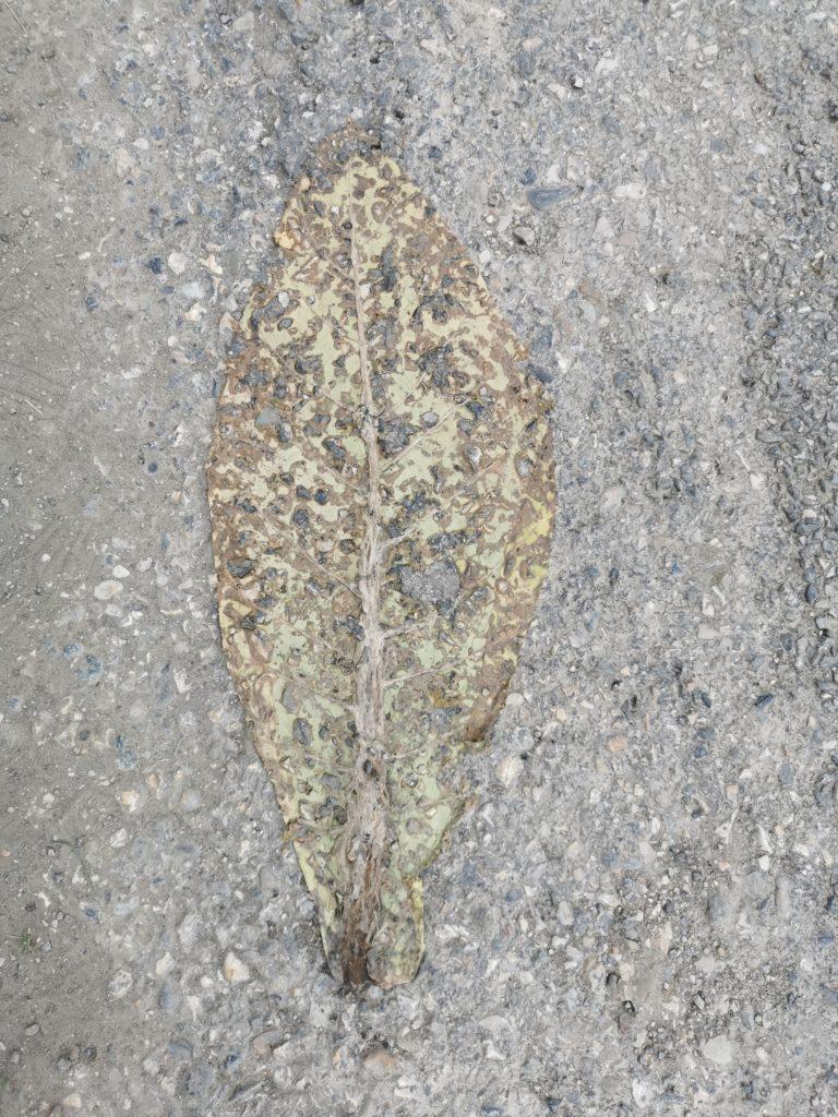 Feuille de tabac écrasée sur le bitume